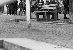 Co-habitation (baptiste.lasnier) Tags: pigeon biset oiseau volatile urbain homme cohabitation réflexion animaux noir et blanc sol démarche bancs enfants