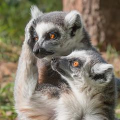 Connection (Andrew_Leggett) Tags: ringtailedlemurs lemurcatta mammal lemur primate animal care sympathy kindness support emotion feelings bonds relationship relationshiips friendship connection forest wood woodland