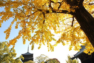 Autumn in Kyoto   ---Yellow ginkgo with pagoda---