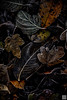 botanical art (gregor H) Tags: warm sweet poetry balzers liechtenstein li brown dead end leaf autumn frost dark black nature pure oldfashion oldmaster balance harmonic stilllife daylight decay botanicalart touch tangible tree art light macro dutchstilllife oldmasterpainting oldstyle abstract