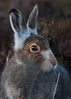 Mountain Hare (Martial2010) Tags: mountain hare angus glen canon