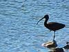 Bird (markb120) Tags: animal fauna bird fowl flyer flier beak bill pecker rostrum neb nib plumage feathering feather coverts coat dress water head eye wing