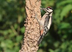 Pica-pau malhado grande // Dendrocopos major // Great spotted woodpecker (Jangada2011) Tags: picapaumalhadogrande greatspottedwoodpecker dendrocoposmajor