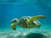 Sea Turtle (namra38) Tags: armanwerthphotography seaturtle maui wildlife