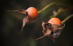 rose hip (koaxial) Tags: pa285402a koaxial rose hip autumn herbst fall details macro nature natur fruits plant