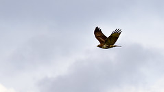 Red-tailed Hawk on the Move (Noble Bunny) Tags: redtailed red tailed hawk bird prey raptor