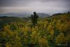 銀杏八卦陣 (風景獵人) Tags: taiwan 台灣 風景 風景獵人 landscape 南投 nantou 銀杏森林 鹿谷 黃 yellow