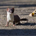 Stoat (image 1 of 2) (Full Moon Images) Tags: wimpole hall nt national trust cambridgeshire animal mammal stoat