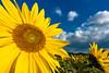 Sunflower in autumn (Hiro_A) Tags: flower sunflower autumn sky cloud imabari ehime shikoku japan sony rx100m3