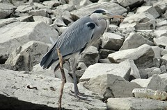 Grey heron (Ardea cinerea) (Georgi Peshev) Tags: heron kerkini bird ardea cinerea garza airon чапла