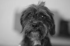 Diesel B&W Skinny Face (erluko) Tags: schnauzer dachshund dog pet monochrome blackandwhite bw indoor smcpentaxf11750mm diesel sooc