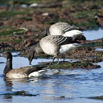 Brent geese. thumbnail