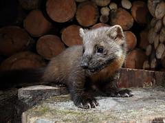 Pine marten (Mike Mckenzie8) Tags: martes wild mammal wildlife scotland highland nocturnal camera trap forest woodland