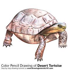 Desert Tortoise with Color Pencils [Time Lapse] (drawingtutorials101.com) Tags: desert tortoise tortoises gopherus agassizii morafkai animals animal sketch sketches draw drawing drawings color colors coloring how timelapse time lapse video pencil