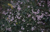 Asperula cynanchica. La Hinch Dunes (Mary Gillham Archive Project) Tags: 17815 asperulacynanchica countyclare ireland lahinch planttree squinancywort