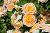 Maig_1458 (Joanbrebo) Tags: barcelona catalunya españa es park parque parc parccervantes garden jardí jardín flors flores flowers fleur fiori blumen blossom rosa rose canoneos70d eosd efs18135mmf3556is autofocus