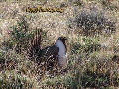 Sage Grouse - Happy Thanksgiving! (Wayne~Chadwick) Tags: mahleur oregon sage grouse
