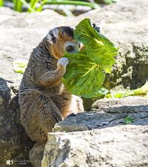 Peek-a-boo (technodean2000) Tags: lemurs clade strepsirrhine primates endemic island madagascar the word lemur derives from lemures ghosts or spirits roman bristol zoo animal rock wood