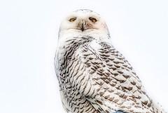 Luminar2018 Makeover: Snowy Owl (KWPashuk) Tags: nikon d200 tamron150600mm lightroom luminar snowy owl bird nature winter simple outdoors wildlife urbanwildlife coronationpark oakville ontario canada