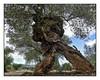 Olivos milenarios Canet lo Roig (ferfoaia) Tags: olivo olive wood árbol paisaje olivewood