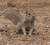 Chubby Cheeks... (cindyslater) Tags: rocksquirrel goldenvalleyaz arizona wildlife cindyslater animal