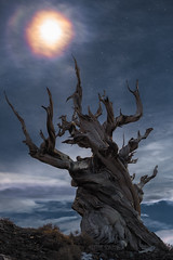 Moonlapse (Maddog Murph) Tags: astro bristlecone pines pine tree ancient 5000 years old moon light moonlight mist rainbow halo misty clouds twilight stars night dusk cloudy owens valley california bark tawny mammoth lakes bishop sierras