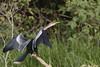 Biguatinga [female] / Anhinga / Anhinga anhinga (Linnaeus, 1766) (Alessandra Fr.) Tags: biguatinga ave bird anhinga pantanal suliformes anhingidae
