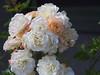 P7110946 (Asansvarld) Tags: summer sommar sweden sverige stockholm högdalen olympusomdem5 microfourthirds flowers blommor rose ros