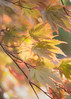 Autumn Acer (Explored) (Anniison) Tags: acer autumn macro golden yellow highkey