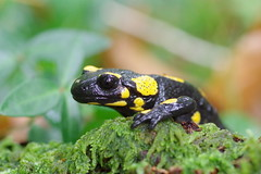 Feuersalamander (Aah-Yeah) Tags: feuersalamander firesalamander salamander schwanzlurch achental chiemgau bayern