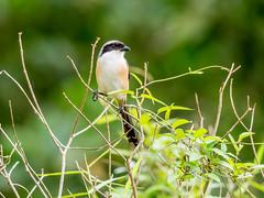 20171127-EM120489 (shutterblades) Tags: birds longtailedshrike olympusem1mkii olympusmzuiko300mmf4pro14tc seletaraerospacehub seletarwestlink