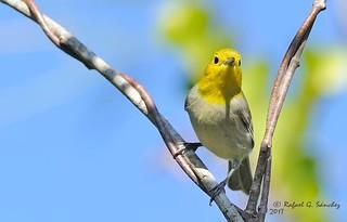 Yellow-headed warbler - Paruline de Fernandina - Chillina - Teretistris fernandinae