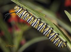 Monarch Chrysalis (rickdunlap2) Tags: monarchbutterfly monarch butterfly chrysalis caterpillar insect animal wildlife