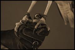 Caracara #4 2017; Talons (hamsiksa) Tags: aves birds raptors hawks eagles falcons talons claws zoos museums arizona tucson arizonasonoradesertmuseum wildlife rehabilitation feet birdfeetblack white monochrome