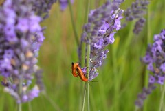 Soldier Lav ender (suekelly52) Tags: insect soldierbeetle lavender