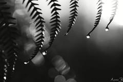 Beginning (annabuni) Tags: noir et blanc black white gouttes goutte goutellette drops water fougère dégel matin morning macro plante plant eau bokeh flou tamron lens sony a58 beginning le commencement anna bunichon novembre november automne autumn