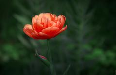 RUS55630(Bright Light) (rusTsky) Tags: outdoor nature bokeh plant beauty blossom green red sunny light summer garden canon closeup tulip flowerscolors