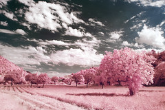 Baronnies (Lolo_) Tags: infrared ir pink drôme provence baronnies provençales lavander trees montjoux lapaillette nyons rose infrarouge field champ france