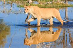 Lion's reflection (patrickburtin) Tags: