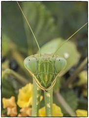 MANTIS RELIGIOSA (BLAMANTI) Tags: mantis mantisreligiosa insectos ojos verde naturaleza canon canonpowershotsx60