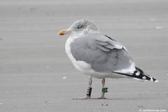 Adult Scandinavian Gull Black KX0L - 20171127 (little-W | Studying gulls) Tags: larusargentatus scandinavian herring gull