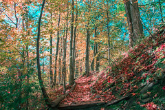 Pathway at The Rough Urban National Park (A Great Capture) Tags: agreatcapture agc wwwagreatcapturecom adjm ash2276 ashleylduffus ald mobilejay jamesmitchell toronto on ontario canada canadian photographer northamerica torontoexplore fall autumn automne herbst autunno 2017 rebel t5i colours colors colourful colorful light sun sunny sunshine eos digital dslr lens canon natur nature naturaleza natura naturephotography naturethroughthelens outdoor outdoors park parc wilderness woods trees tree arbre forest wald leaves leaf foliage autumnleaves branch branches rough national red yellow