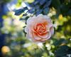 2017 Autumn Rose (shinichiro*@OSAKA) Tags: 20171121sdqh1845 2017 crazyshin sigmasdquattroh sdqh sigma1835mmf18dchsm november autumn rose yokohama kanagawa 横浜イングリッシュガーデン バラ ピンク japan jp 24023444277 candidate