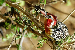 Red & Yellow Barbet (jay_kilifi) Tags: bird avian kenya tsavo safari nikon acacia wild trachyphonus erythrocephalus africanbarbet aves piciformes lybiidae terythrocephalus
