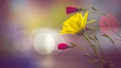 Wildflower (Dhina A) Tags: sony a7rii ilce7rm2 a7r2 kaleinar mc 100mm f28 kaleinar100mmf28 5n m42 nikonf russian ussr soviet 6blades