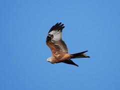 Red kite (John Spooner) Tags: bird sky redkite kite hampshire nature