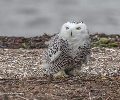Snowy Owl (Bubo scandiacus) (wmckenziephotography) Tags: snowy owl raptor wintervisitor owlsofbc raptorsofbc snowyowl