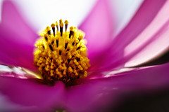 To See Your Nature (leopc.lin) Tags: leica summilux 50mm 14 voigtalnder ve close focus adapter kenko dg extension tube16mm10mm sony a6000 nex flower macro nature