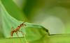 Hormiga con apetito - Hungry ant (Marco E. Photography) Tags: anamites naturaleza macro guayana bagne
