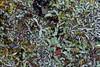 Asterella californica (openspacer) Tags: jasperridgebiologicalpreserve jrbp liverwort marchantiales riccia